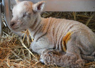 newly-born-lamb