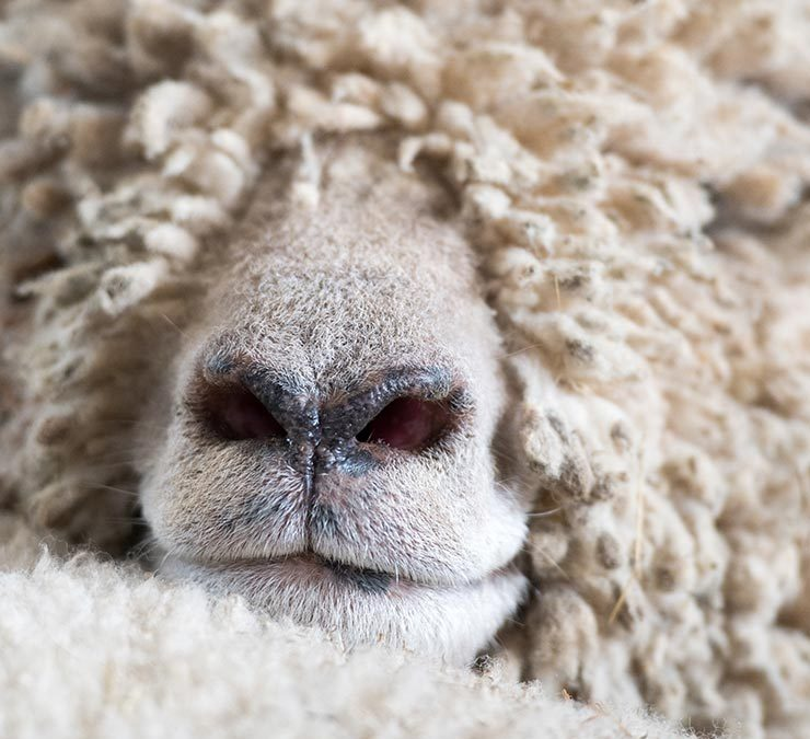 Sheeps nose