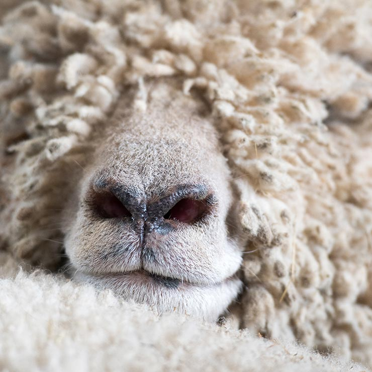 Sheeps nose