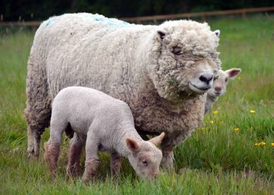Southdown Ewe with lambs