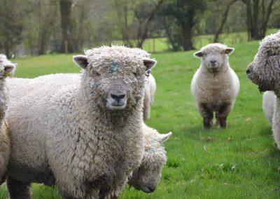 southdown-flock