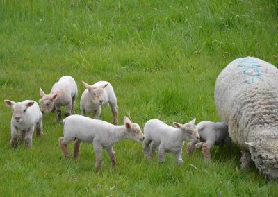 Southdown lambs playing