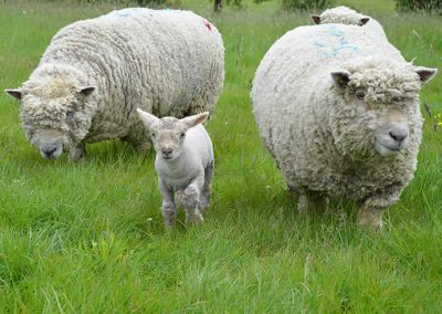 southdown-sheep-grazing