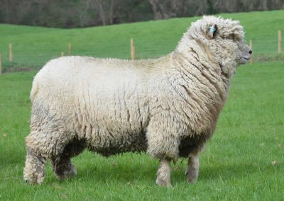Woolly Southdown Sheep