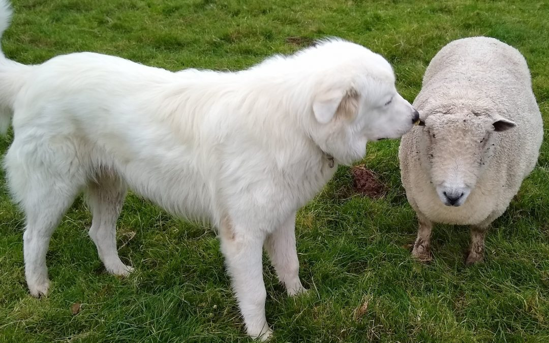 Gentle Giants Unite – The Intrepid Shepherdess