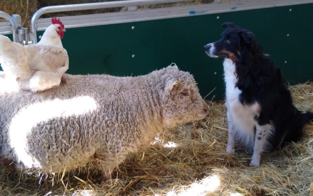 Southdown Eve with sheepdog hen